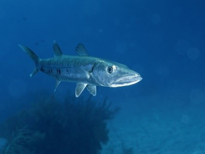 Photo:  Barracuda