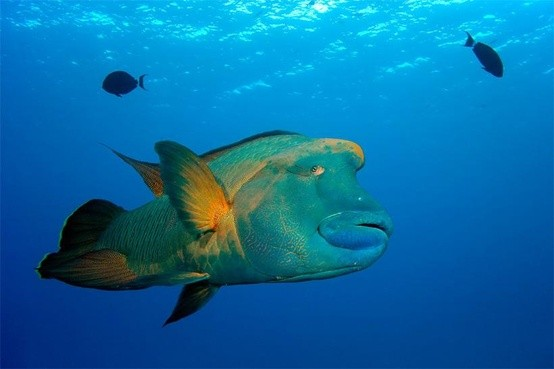 Photo:  Barrier Reef Parrot fish