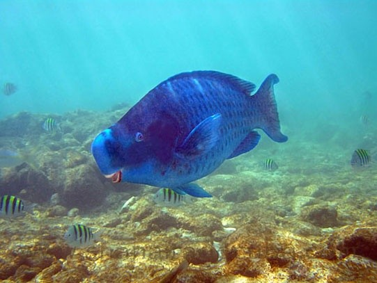 Photo:  Blue Parrotfish