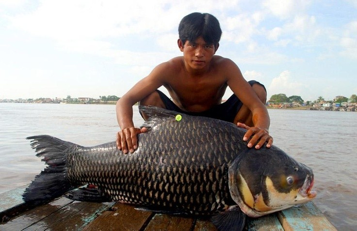 Photo:  giant barb on the Tonle Sap River near Phnom Penh, Cambodia