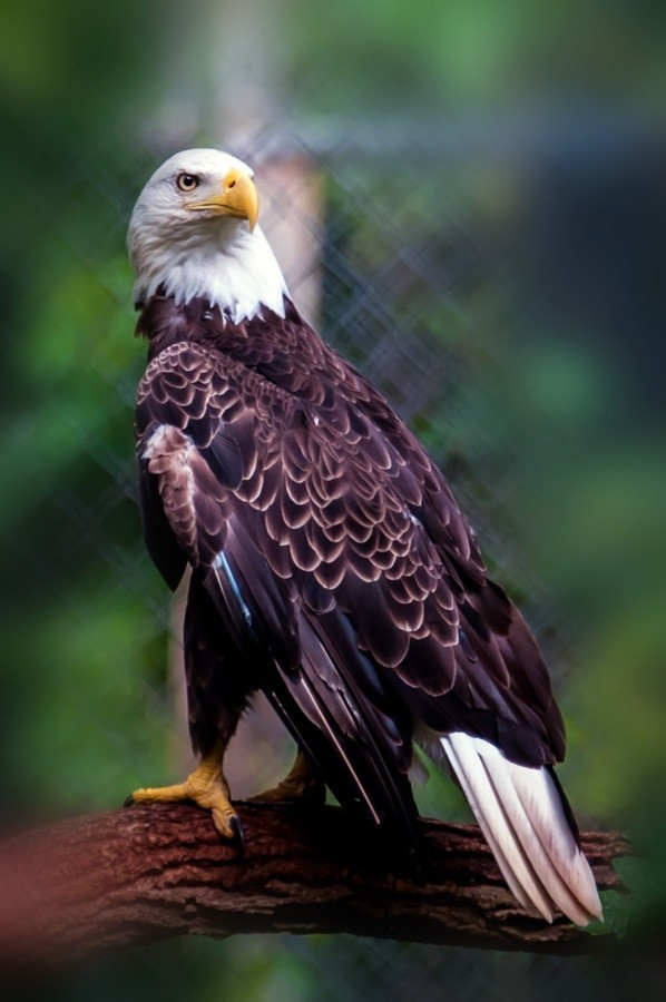 Photo:  Bald Eagle 2