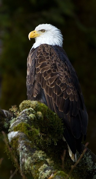Photo:  Bald Eagle 3