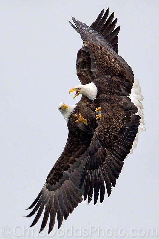 Photo:  Bald eagles fight
