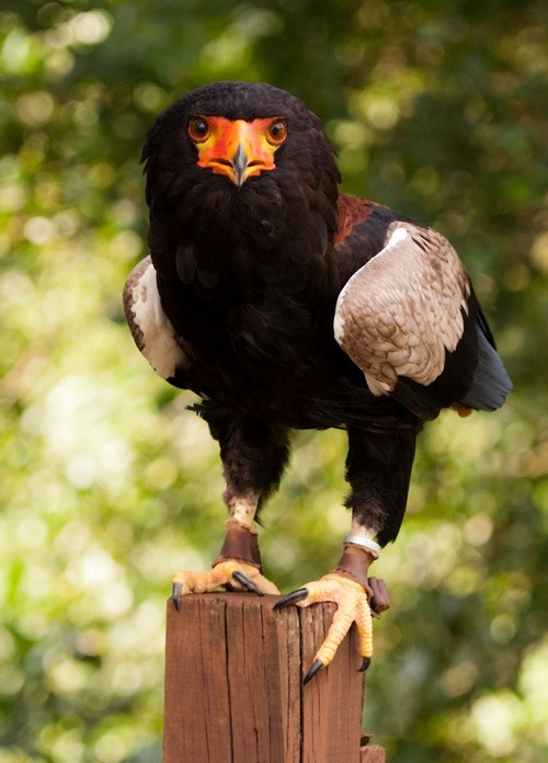 Photo:  Bateleur Eagle