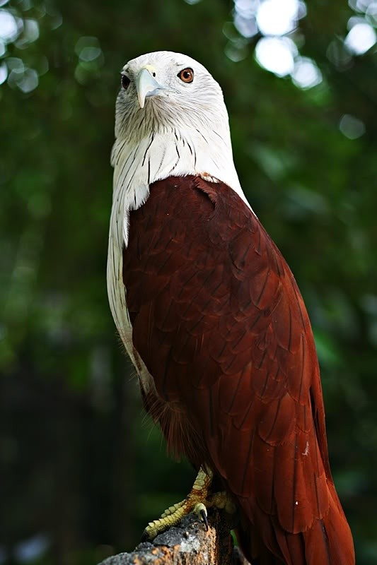 Photo:  Brahminy Kite