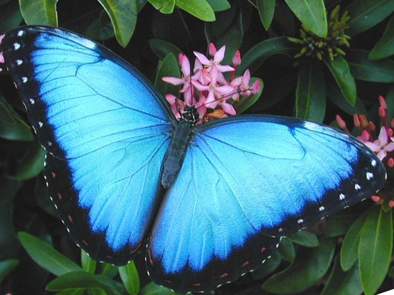 Photo:  Blue Morpho Peleidis butterfly