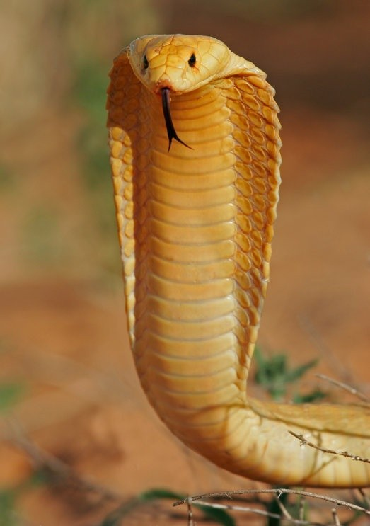 Photo:  Cape Cobra