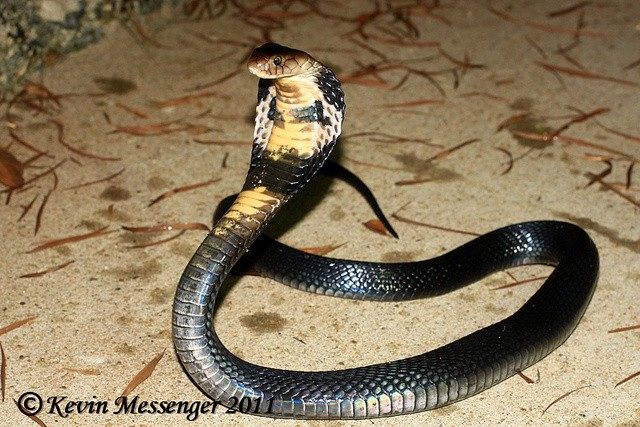 Photo:  Chinese Cobra