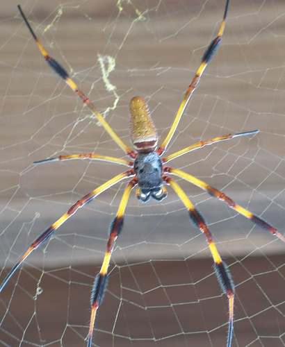 Photo:  Banana Spider