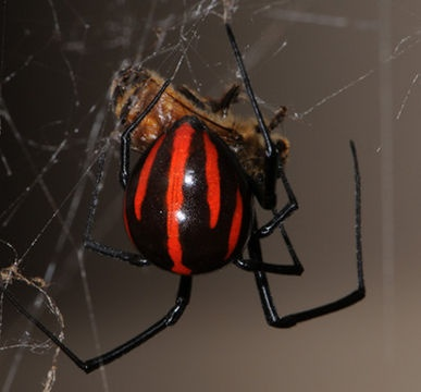 Photo:  Black widow spider