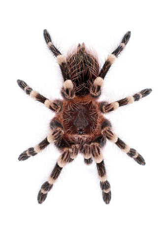 Photo:  Giant White Knee Tarantula Tarantulas