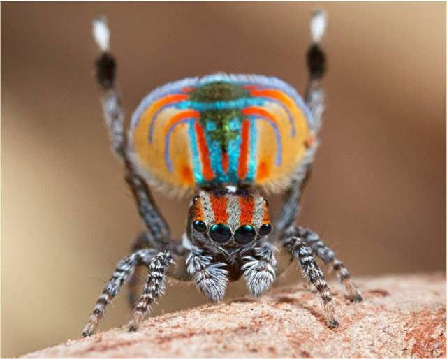 Photo:  Peacock Spider