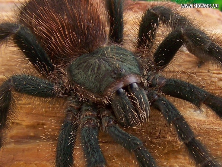 Photo:  Tarantula Spider
