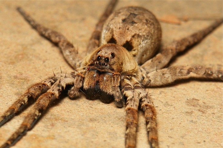 Photo:  Wolf Spider (Lycosidae)