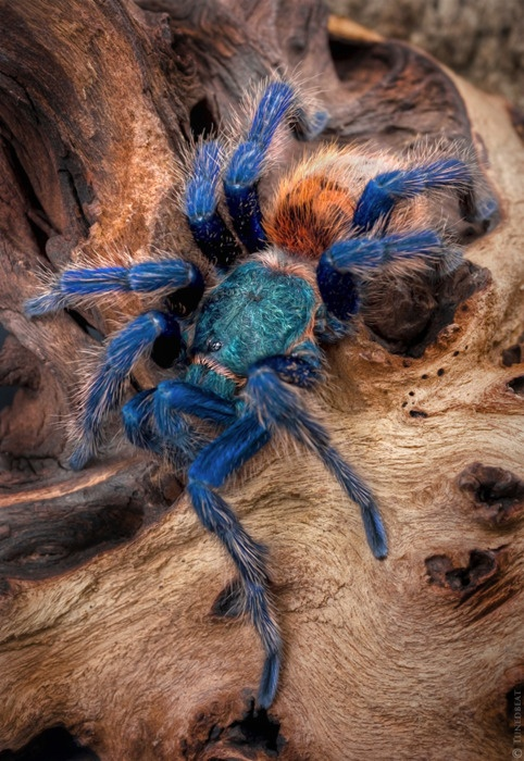Photo:  green bottle blue tarantula