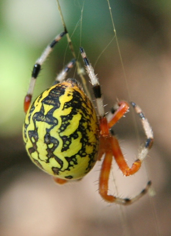 Photo:  marbled orb weaver