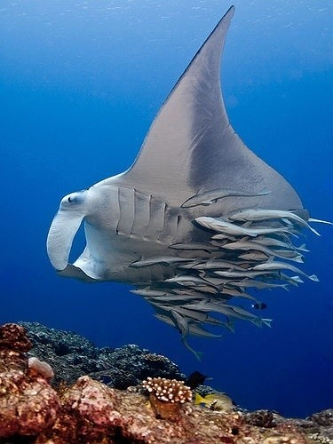 Photo:  A Manta Ray with Remoras