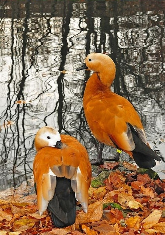 Photo:  A couple of Ruddy Shelduck