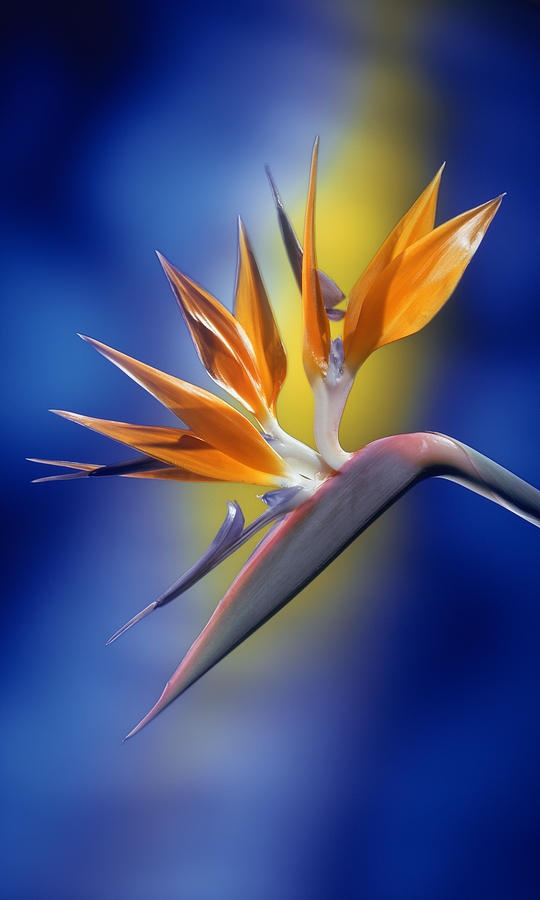 Photo:  Bird Of Paradise