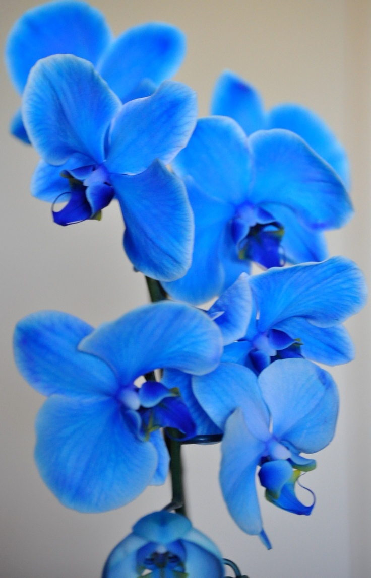 Photo:  Blue Mystique Orchids