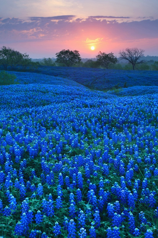 Photo:  Bluebonnet Carpet