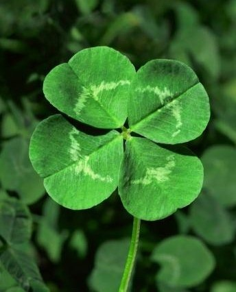 Photo:  4 leaf clover