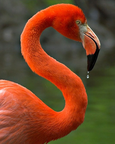 Photo:  Flamingo in orange