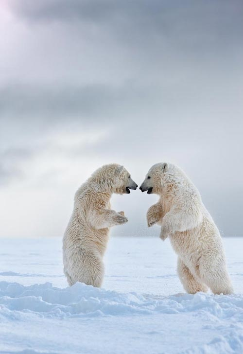 Photo:  white bears