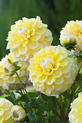 Photo:  Dahlia 'Gramma's Lemon Pie'