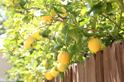 Photo:  lemon