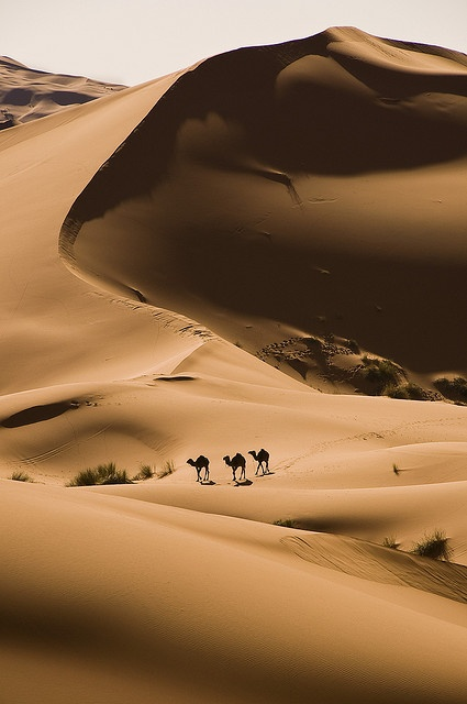 Photo:  Camels in the Sahara desert near Merzouga, Morocco
