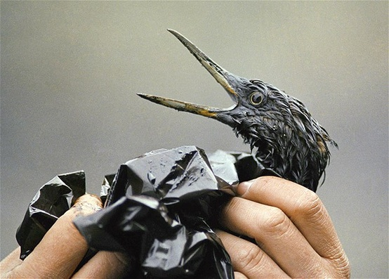 Photo:  A bird soaked with crude oil from the Exxon Valdez spill in April, 1989, is examined on an island in Prince William Sound in Alaska