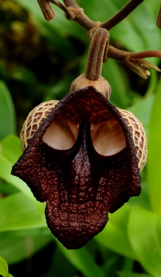 Photo:  Aristolochia salvador platensis seems Darth Vader from Star Wars