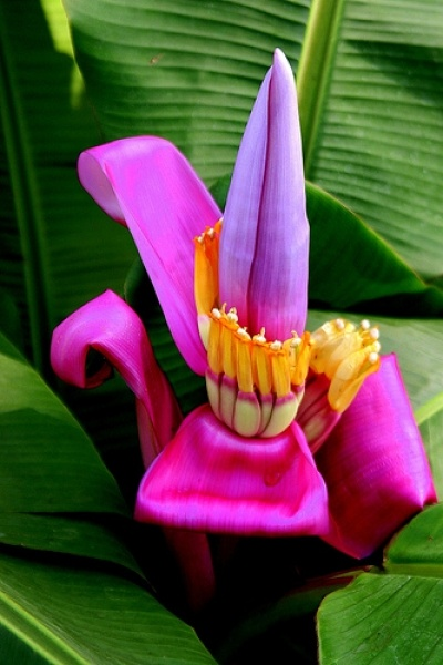 Photo:  Banana Flower