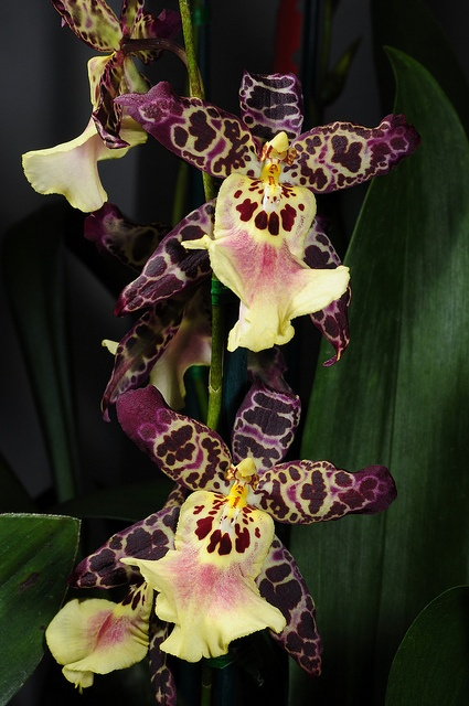 Photo:  Beallara 'Clownish Cotton Candy' Orchid