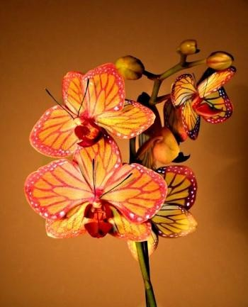Photo:  Butterfly Orchid