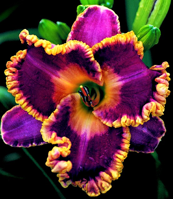 Photo:  amazing daylily bloom