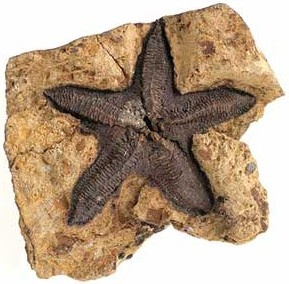 Photo:  Fossil sea star (Eoactis stachi), Late Silurian (c. 420 million years old), Melbourne, Victoria