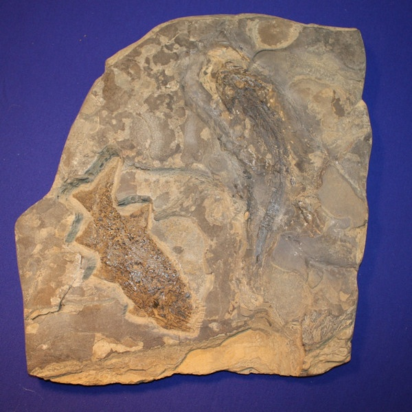 Photo:  Rare fossil amphibian (Micromelerpeton credneri) in association with a fossil fish (Paramblypterus duvernoyi).