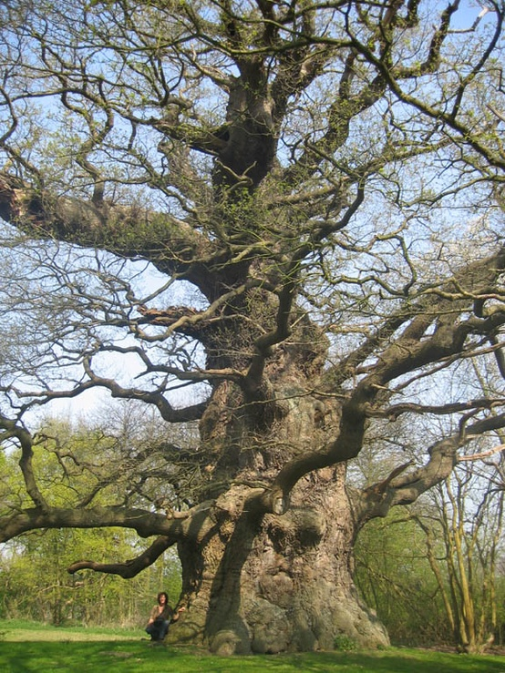 Photo:  'Majesty' The Fredville Oak, Kent, England In Kent