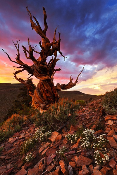 Photo:  Ancient Bristlecone Pine Forest