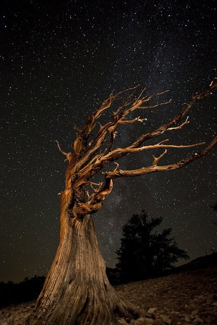 Photo:  Ancient Bristlecone