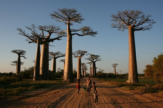 Photo:  Avenue of the Baobabs