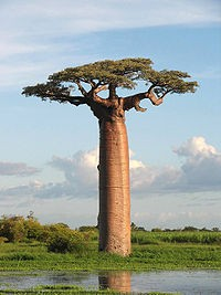 Photo:  Baobab trees store up to 32,000 gallons in their swollen trunks