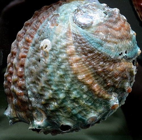 Photo:  Abalone shell