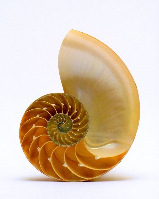 Photo:  Chambered nautilus seashell