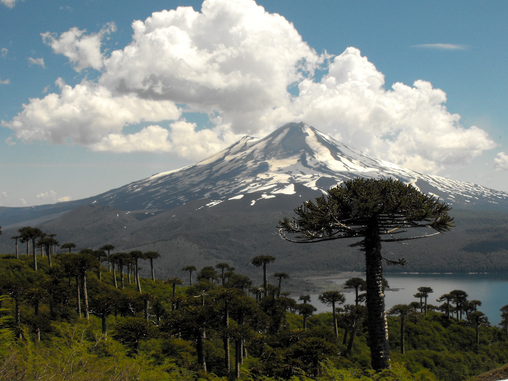 Photo:  Araucaria araucana trees in Conguillío National Park