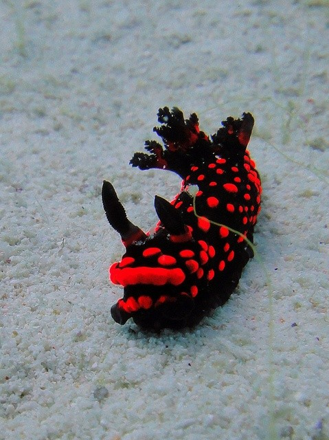Photo:  nudibranch  red