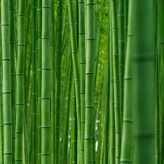 Photo:  Bamboo Forest of Sagano